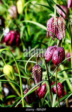 Guinea Hen Flower or Snake's Head - Fritillaria meleagris flowers with unique dainty chequered bell shaped flowers. - Stock Photo