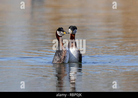 Red-necked grebe (Podiceps grisegena / Podiceps griseigena) couple displaying during mating ritual in lake during the breeding season in spring - Stock Photo