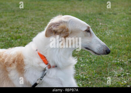 Cute russian hunting sighthound close up. Russkaya psovaya borzaya or russian wolfhound. Pet animals. - Stock Photo