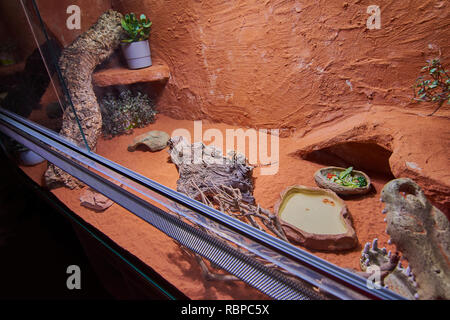two young bearded dragons in their terrarium - Stock Photo