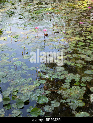 A lotus pond with the sky reflected in the water - Stock Photo