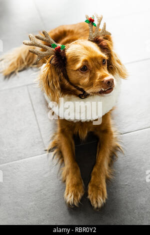 Spaniel-mixed-breed dog with antlers at Christmas lies on gray tiles - Stock Photo