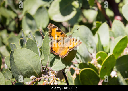 Satyr Comma butterfly (Polygonia satyrus) resting on the leaves of a manzanita tree, California - Stock Photo