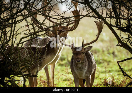 Fallow deer bucks crossing under a hedge in West Sussex, England - Stock Photo