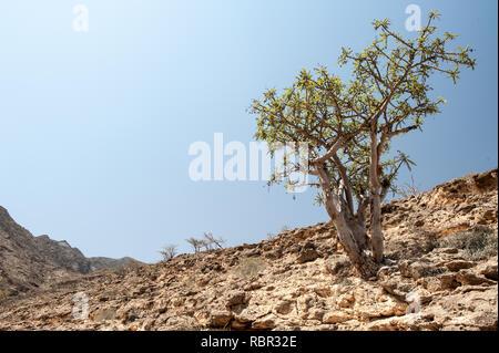 Frankincense trees - Stock Photo