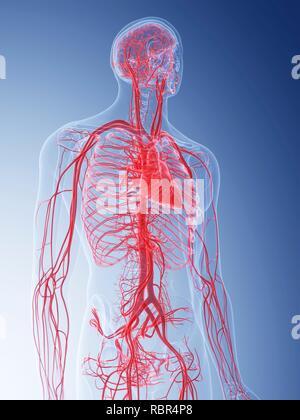 Illustration of the vascular system. - Stock Photo