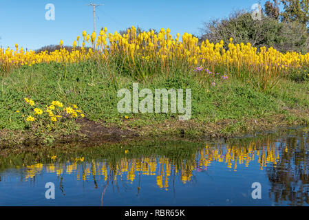 Yellow bulbinellas (Bulbinella nutans), with reflections in a pond at Willemsrivier in the Northern Cape Province - Stock Photo