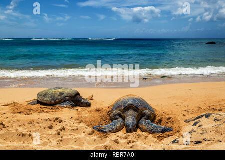 Close view of sea turtles resting on Laniakea beach on a sunny day, Oahu, Hawaii - Stock Photo