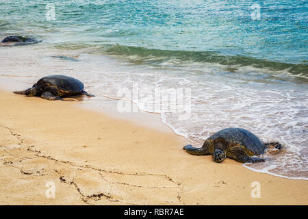 Close view of sea turtles resting on Laniakea beach on a sunny day, Oahu, Hawaii - Stock Photo