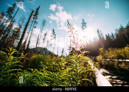 Tatra National Park, Poland. Rosebay Willowherb - Chamaenerion Angustifolium In Tatra Mountains Forest. - Stock Photo