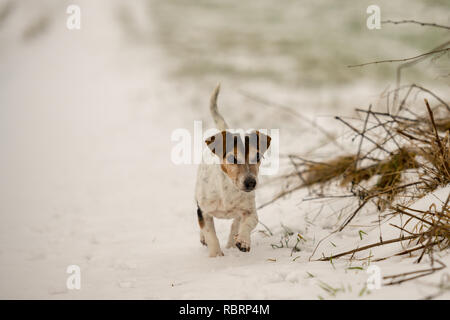 small dog runs over a meadow in the snow in winter landscape - Cute Jack Russell Terrier hound, 12 years old, hair type smooth - Stock Photo