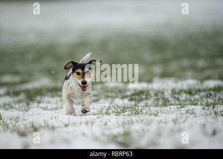 small dog runs over a meadow in the snow in winter landscape - Cute Jack Russell Terrier hound, 9 years old, hair type broken - Stock Photo