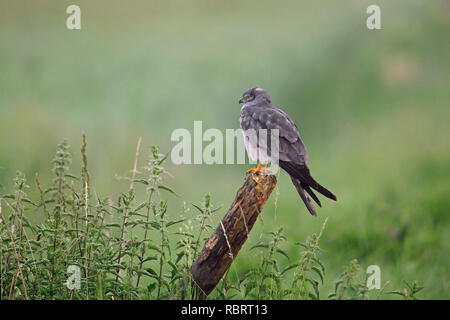 Montagu's harrier (Circus pygargus), male perched on fence post in grassland - Stock Photo