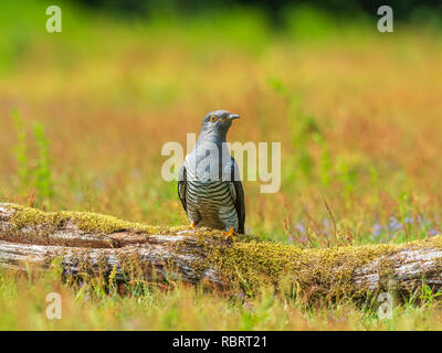 Cuckoo ( Cuculus canorus )  on the ground - Stock Photo