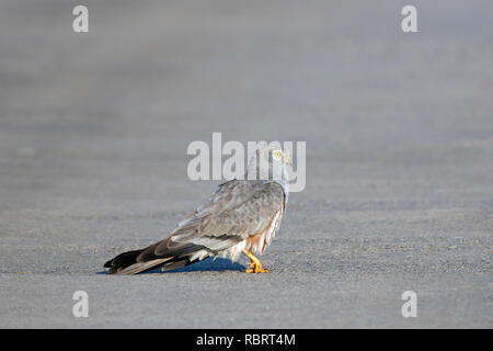 Montagu's harrier (Circus pygargus), male walking in the middle of rural road - Stock Photo
