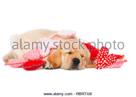 Yellow Labrador Puppy tangled up in Valentines Day heart garland, sleeping white background. - Stock Photo