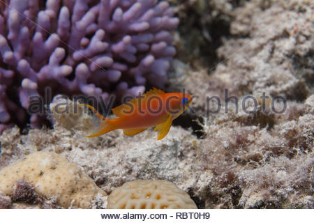 Lyretail Anthias on Coral Reef in Red Sea off Dahab, Egypt - Stock Photo