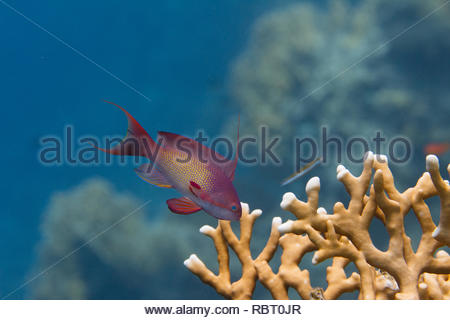 Lyretail Anthias over Net Fire Coral on Coral Reef in Red Sea off Dahab, Egypt - Stock Photo