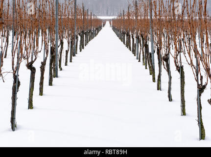 vineyard and grapevines covered in deep snow in the Maienfeld region of Switzerland - Stock Photo
