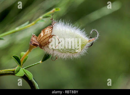 Fruits of Hairy-fruited broom, Cytisus striatus. It is a leguminous shrub native to the Iberian Peninsula and northwestern Africa - Stock Photo