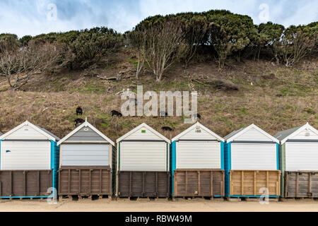 Bournemouth, Dorset, UK. 12th January 2019. Goats are used to graze the cliff side behind beach huts in Bournemouth. Credit: Thomas Faull/Alamy Live News - Stock Photo