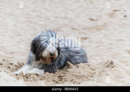 Bournemouth, Dorset, UK. 12th January 2019. Fluffy dog on Bournemouth beach in the winter sun. Credit: Thomas Faull/Alamy Live News - Stock Photo