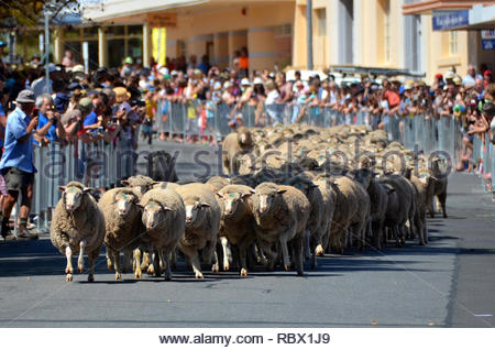 2015 Running of the Sheep, Barmera, SA - Stock Photo