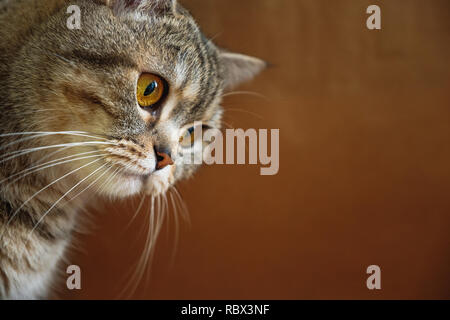 The head of the British smooth-haired striped cat on a brown background - Stock Photo