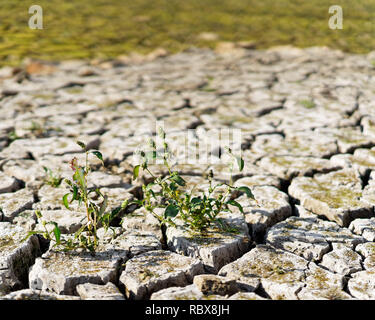 Close-up of the soil of a dry lake, the earth is broken up in large floes, small plant in the foreground, the dryness is clearly visible, consequence  - Stock Photo