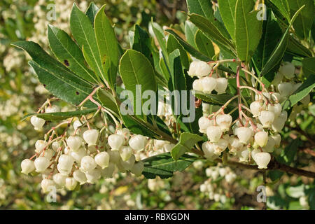 the small white flowers and foliage of the strawberry tree - Stock Photo
