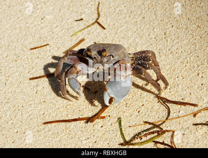 Close-up of a Gray-colored Ghost crab (Ocypode cordimanus) on the beach - Location: Seychelles - Stock Photo