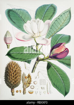 Talauma Hodgsoni (syn. Magnolia Hodgsonii) from Illustrations of Himalayan plants (1855) by W. H. (Walter Hood) Fitch (1817-1892). - Stock Photo