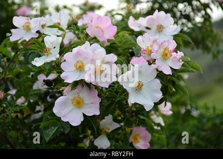 Beautiful blooming wild rose bush, dog rose, Rosa canina. Common Briar - Stock Photo