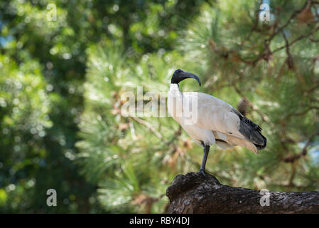 Australian White Ibis (Threskiornis molucca) has adapted to urban life and is now a common sight in Sydney. This bird is in Sydney's Hyde Park - Stock Photo