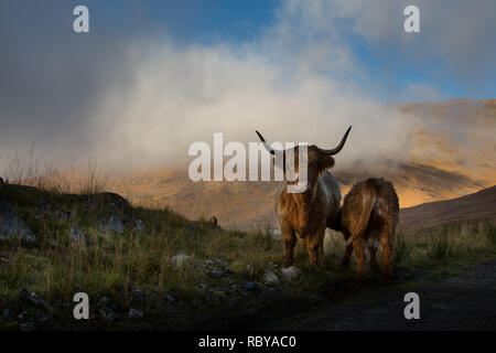 Highland cow and calf in the Scottish highlands - Stock Photo