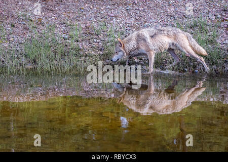 Tundra Wolf Walking along a River with Reflection on the Water - Stock Photo