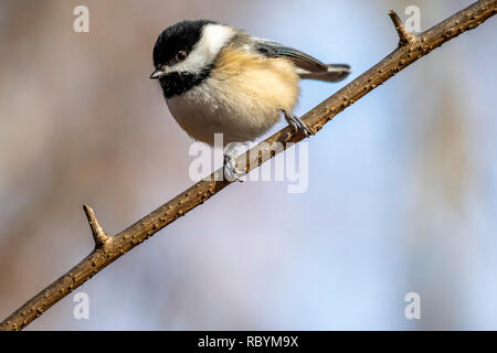 Black-capped Chickadee (Poecile atricapillus) perched on a tree branch in the winter. - Stock Photo