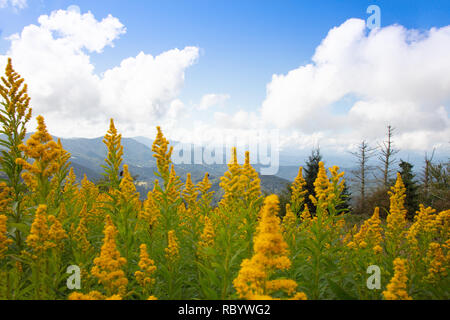 Goldenrod wildflowers in the foreground of a beautiful mountain landscape on Round Bald in the Roan Highlands of North Carolina - Stock Photo