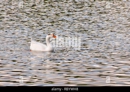 Goose swimming on a lake - Stock Photo