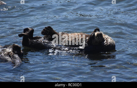 Sweet sea otters cuddling and floating in the ocean waters. - Stock Photo