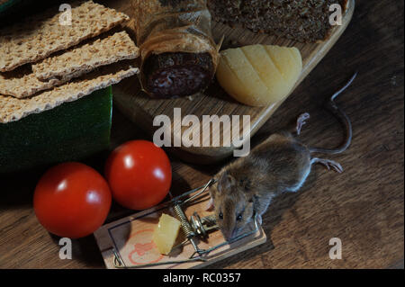 Maus in der Mausefalle gefangen | mouse caught in a mouse trap