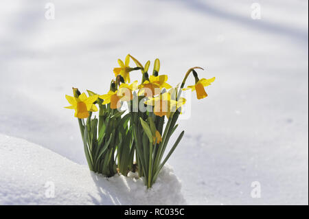 Osterglocken im Schnee | Daffodils in the snow, Lent lily - Stock Photo
