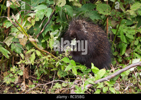 A porcupine forages for food in Forillon National Park on the Gaspé Peninsula of Quebec, Canada. The mammal eats leaves. - Stock Photo