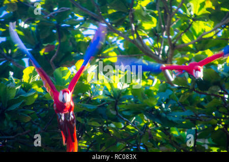 A photo of two scarlet macaws taking off from a tree. On a green background - Stock Photo