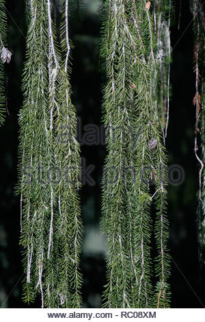 Brewer spruce (Picea breweriana), needle and branch closeup macro, Klamath National Forest, Oreon, USA - Stock Photo