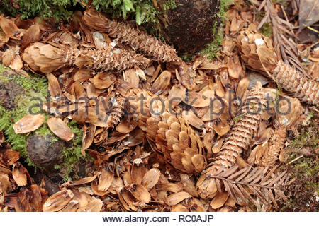Sitka spruce (Picea sitchensis) cones on forest floor, Cathedral Trees Trail, Prairie Creek Redwoods State Park, California, USA - Stock Photo