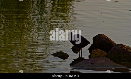 American Coot Standing on Rock Pile in Lindsey City Park Public Fishing Lake, Canyon, Texas. - Stock Photo