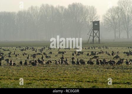 Wildgänse auf dem Darss, Fischland-Darss-Zingst, Mecklenburg-Vorpommern, Deutschland, Europa   wild geese, Fischland-Darss-Zingst, Mecklenburg-Vorpomm - Stock Photo