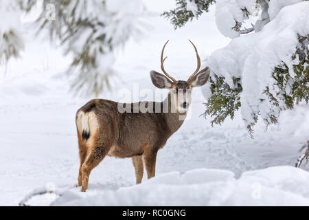 Mule deer buck in winter forest with snow. - Stock Photo