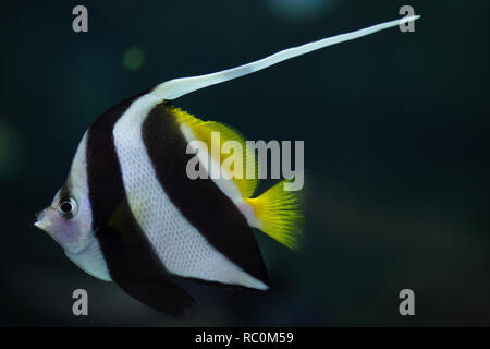 Pennant coralfish (Heniochus acuminatus), also known as the reef bannerfish or coachman. - Stock Photo